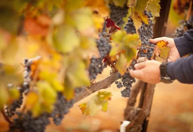 wine_harvest